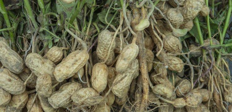 green peanuts publix